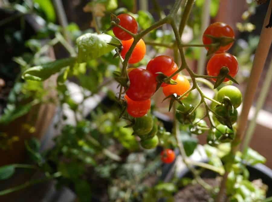 Tomato Crops 2015