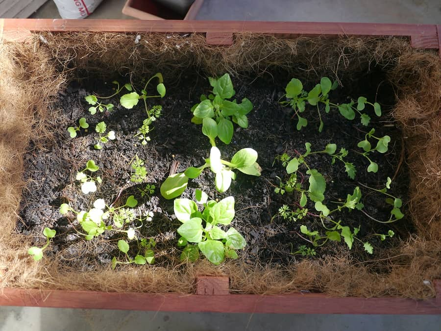 Planter with seedlings
