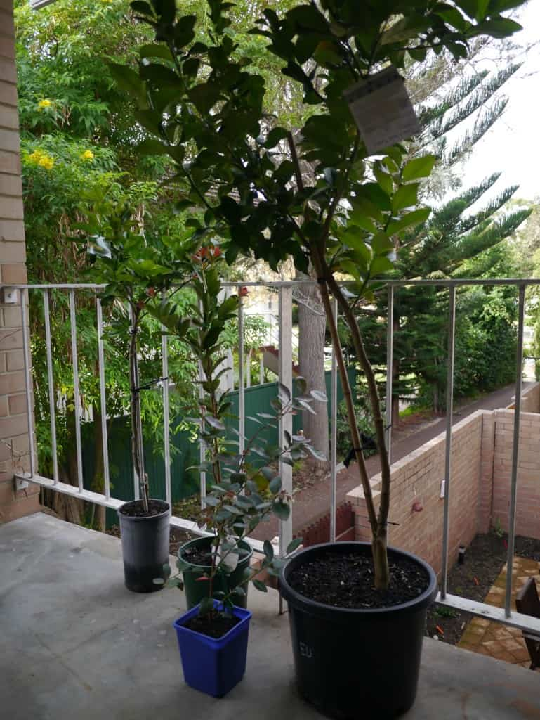 Balcony gardening fruit trees