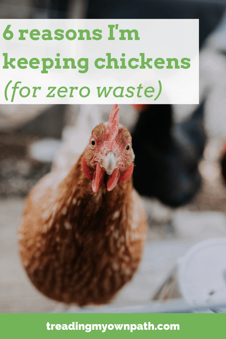 6 reasons I\'m keeping chickens (for zero waste) from Treading My Own Path | Less waste, less stuff, sustainable living | urban permaculture, why keep chickens, how to look after chickens, urban chook keeping, zero waste garden,  reduce food waste, chicken blog, practical chicken keeping, sustainable living, low waste lifestyle, how to reduce waste. More at https://treadingmyownpath.com