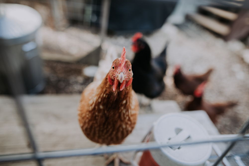 Why I'm Keeping Chickens (for Zero Waste)